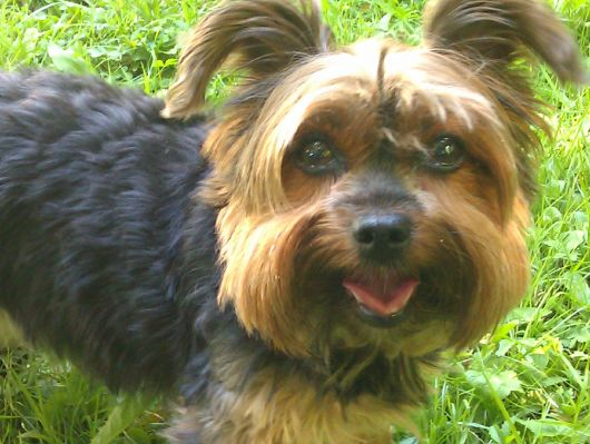 Yorkshire Terrier: Lady